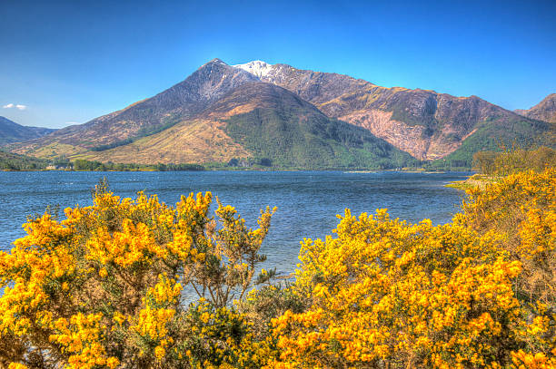 yellow fowers and snow topped mountains loch leven scotland - see loch leven stock-fotos und bilder