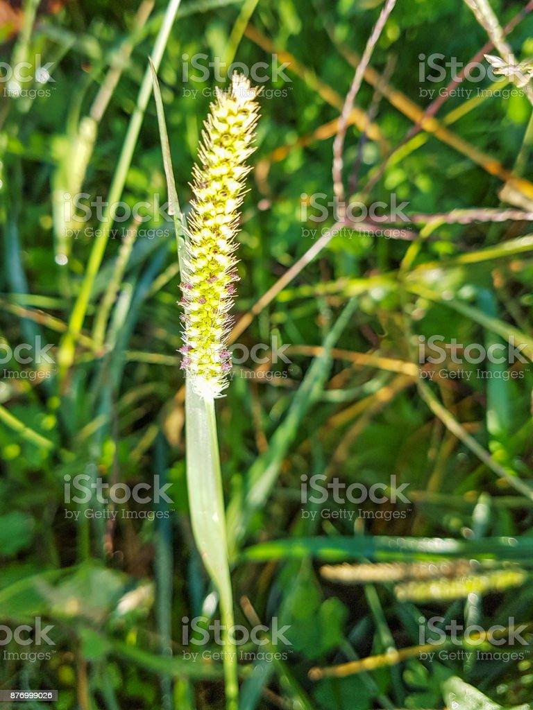 Hierba de cola de zorra, la paloma o la totora amarilla - foto de stock