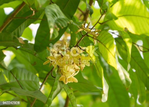 Yellow fragance flowers : Vatica diospyroides