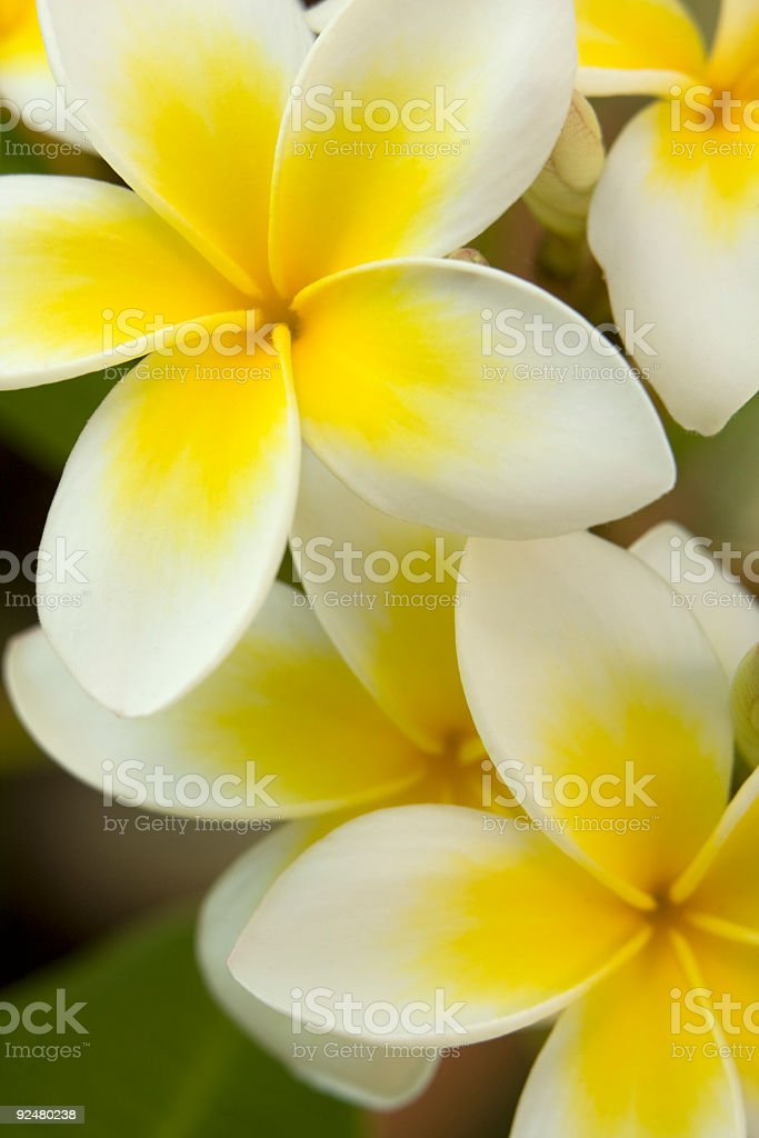 Gelbe frangipani Blumen extreme close-up Lizenzfreies stock-foto