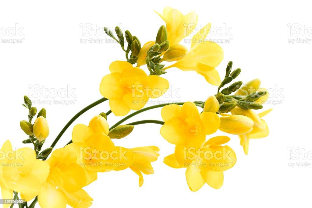 Yellow Freesia flowers stock photo