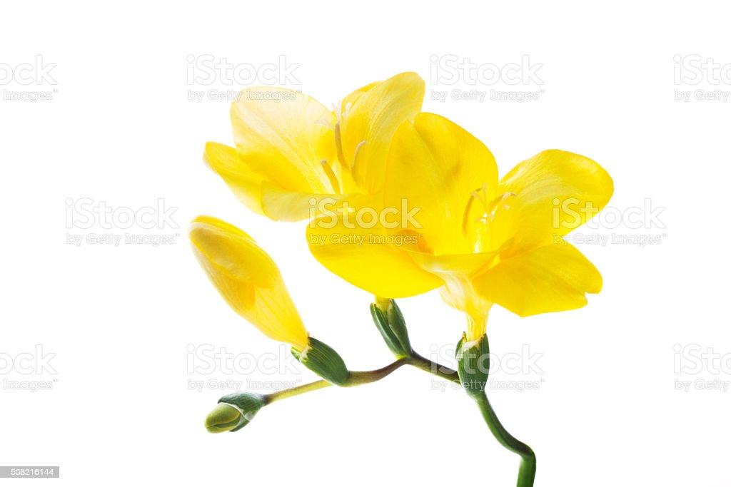 Yellow freesia isolated white background stock photo