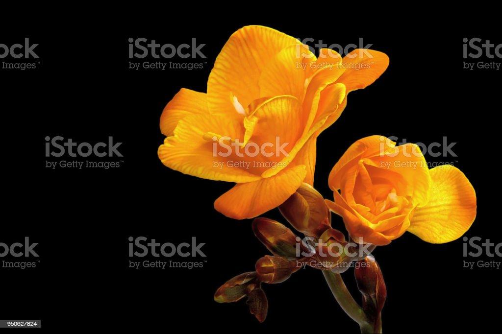 Gelbe Freesie auf einem schwarzen Hintergrund rechts – Foto