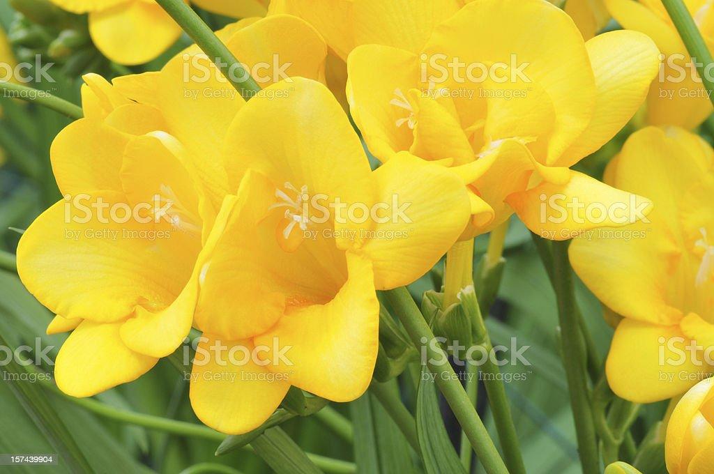 Yellow Freesia圖像檔