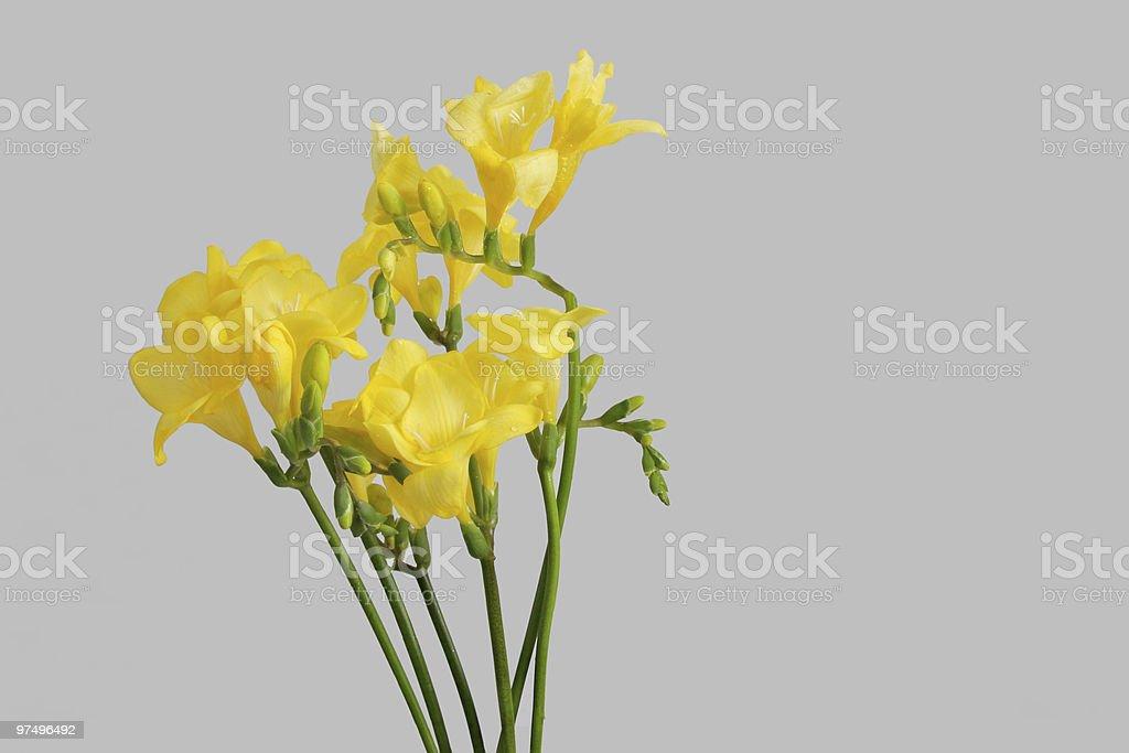 yellow freesias royalty-free stock photo