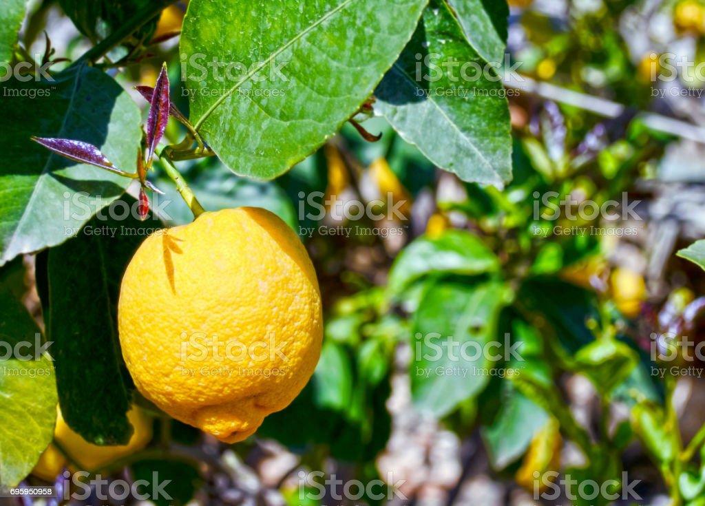 yellow fresh lemon at a blooming garden stock photo