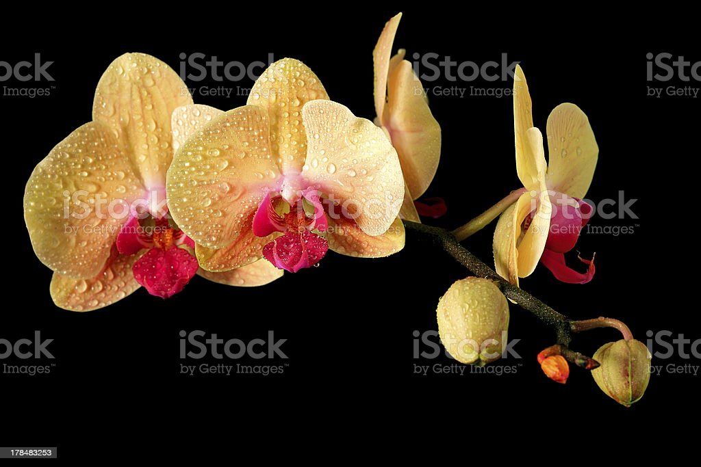 Yellow fresh orchid royalty-free stock photo