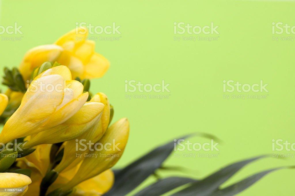 Yellow Fresia Frame royalty-free stock photo