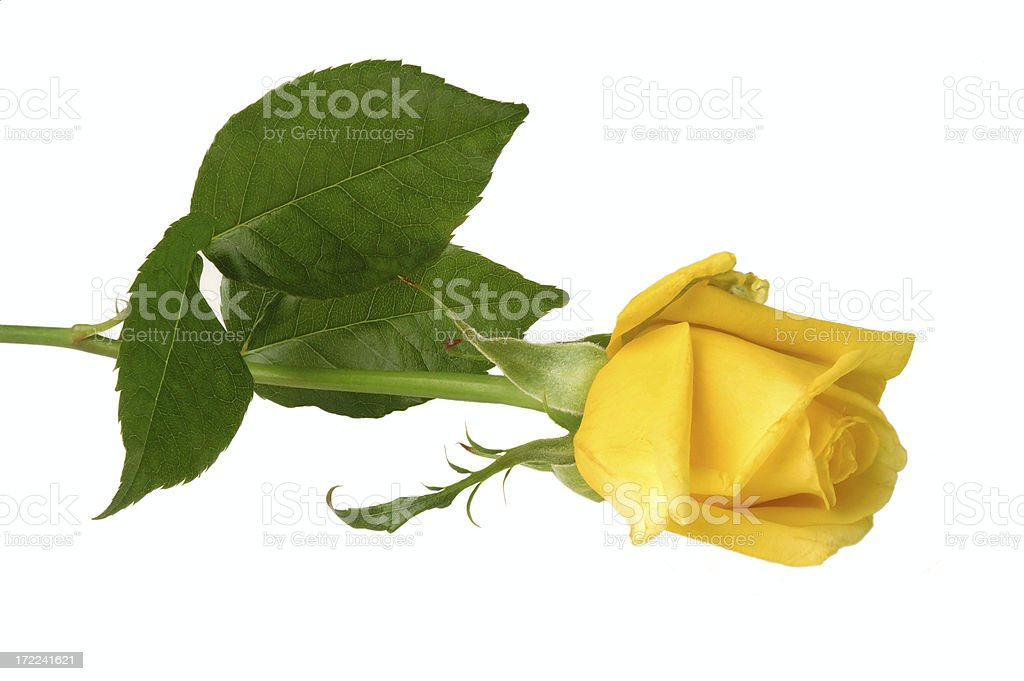 Yellow friendship rose stock photo
