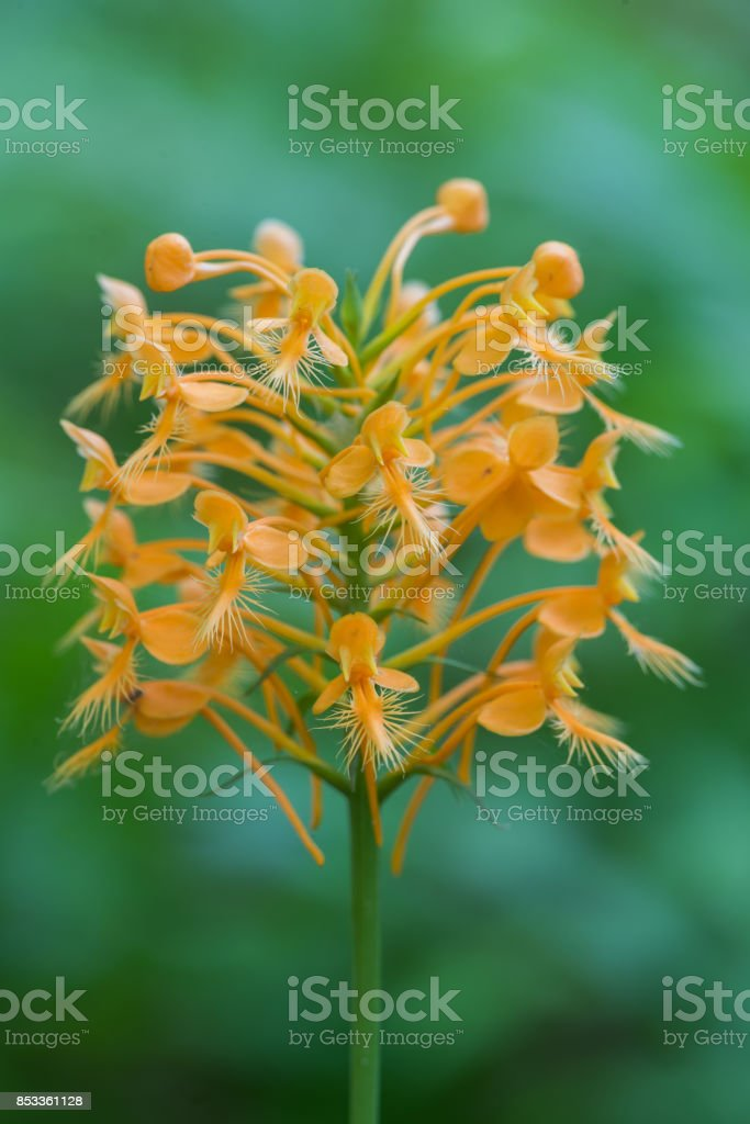 Yellow Fringed Orchid (Platanthera ciliaris), Choctaw County, Oklahoma stock photo