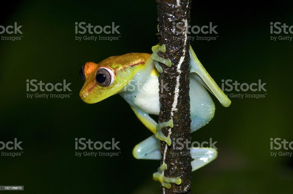Yellow Frog royalty-free stock photo