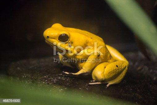istock Yellow Frog 468254500