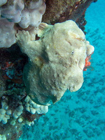 istock Yellow Frogfish Clings to Pier Underwater Close Up in Blue Water 1049568370