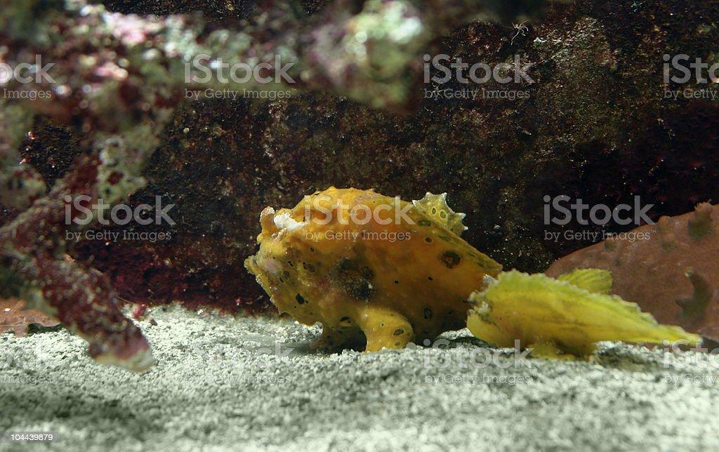 yellow Frogfish royalty-free stock photo