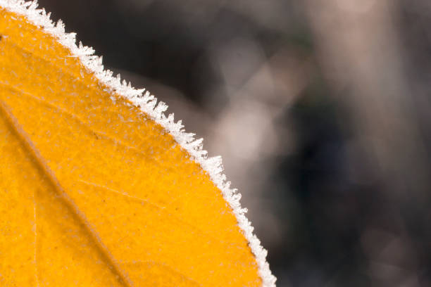 Yellow frozen leaf. stock photo