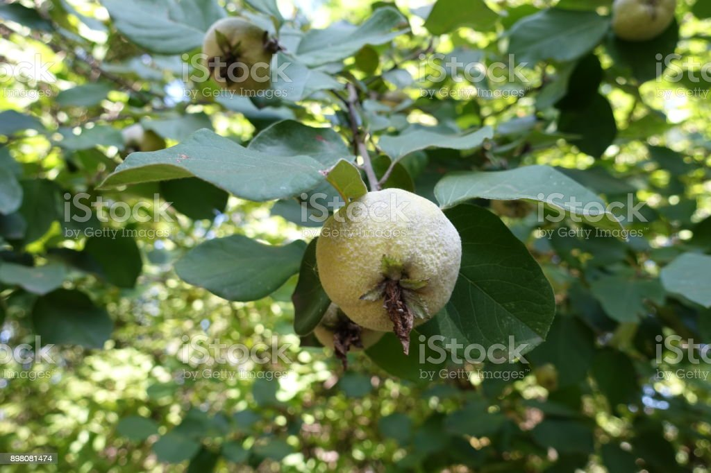 Yellow fruit of quince in the leafage stock photo