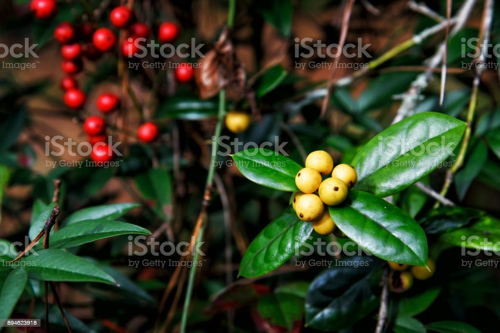 Yellow Fruited Holly Tree with Defocused Red Holly Berries stock photo