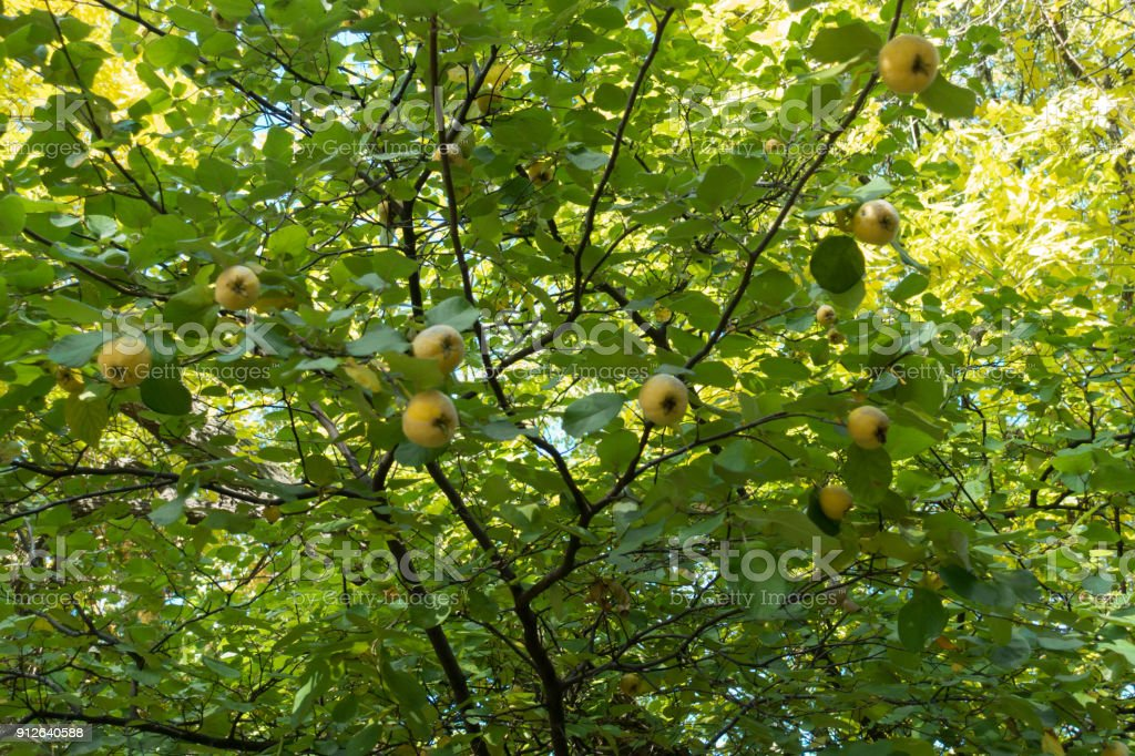 Yellow fruits on the branches of quince tree stock photo