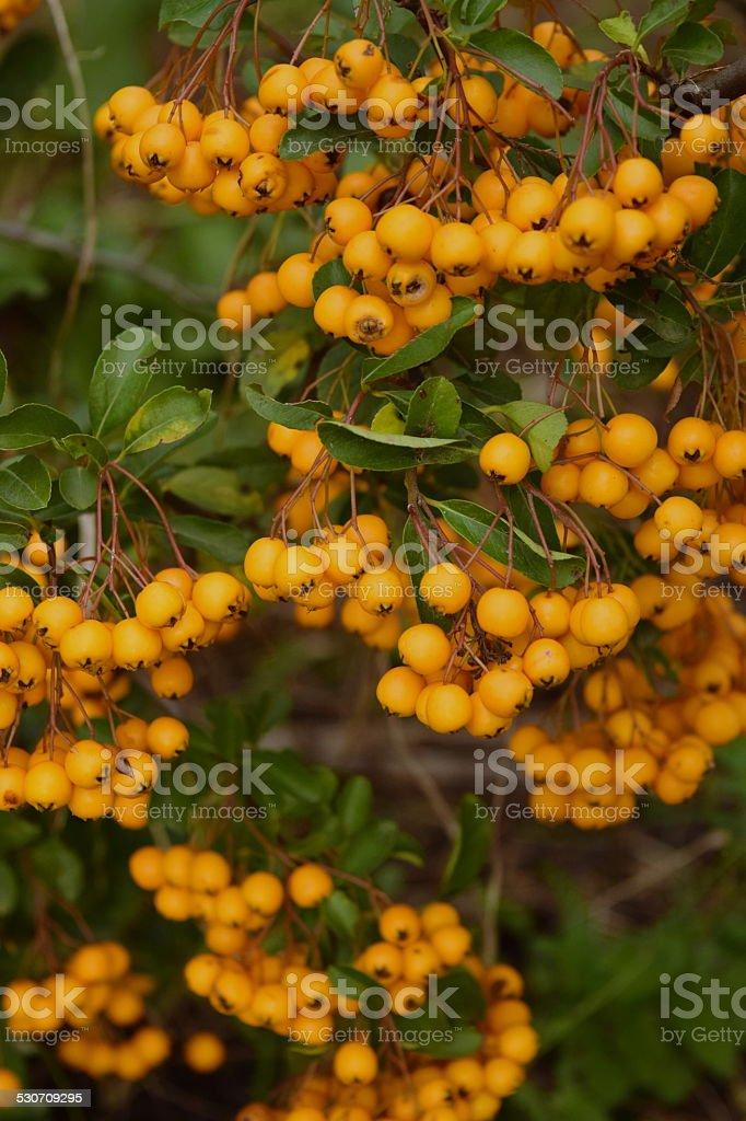 Jaune fruits frais - Photo