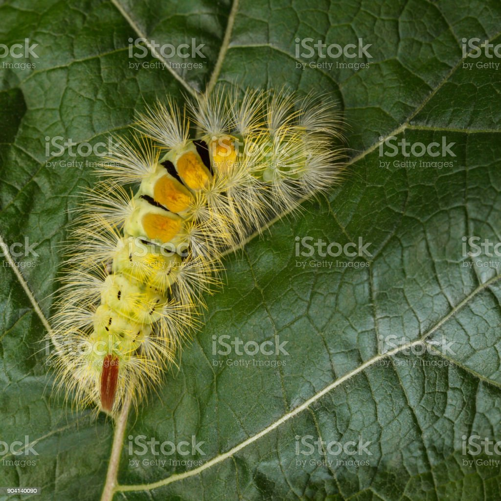 Yellow furry caterpillar curved on leaf stock photo