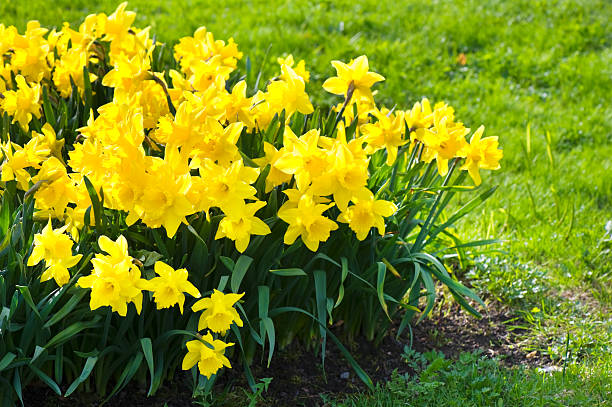 Yellow garden daffodils stock photo