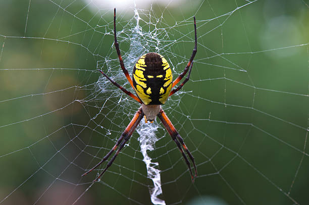 Yellow Garden Spider Argiope Aurantia Silk Web in Oregon Garden stock photo