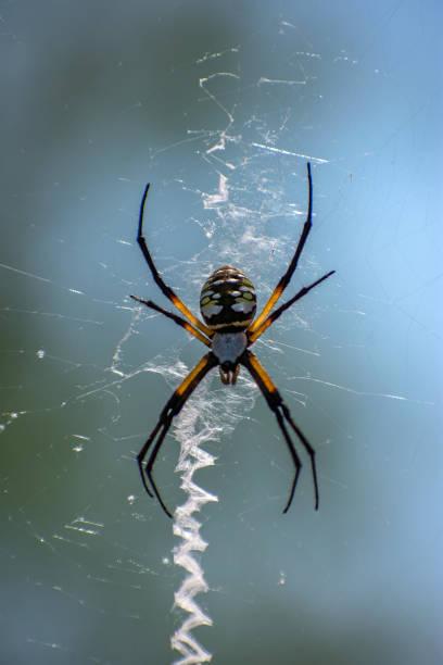 yellow garden spider in Texas stock photo