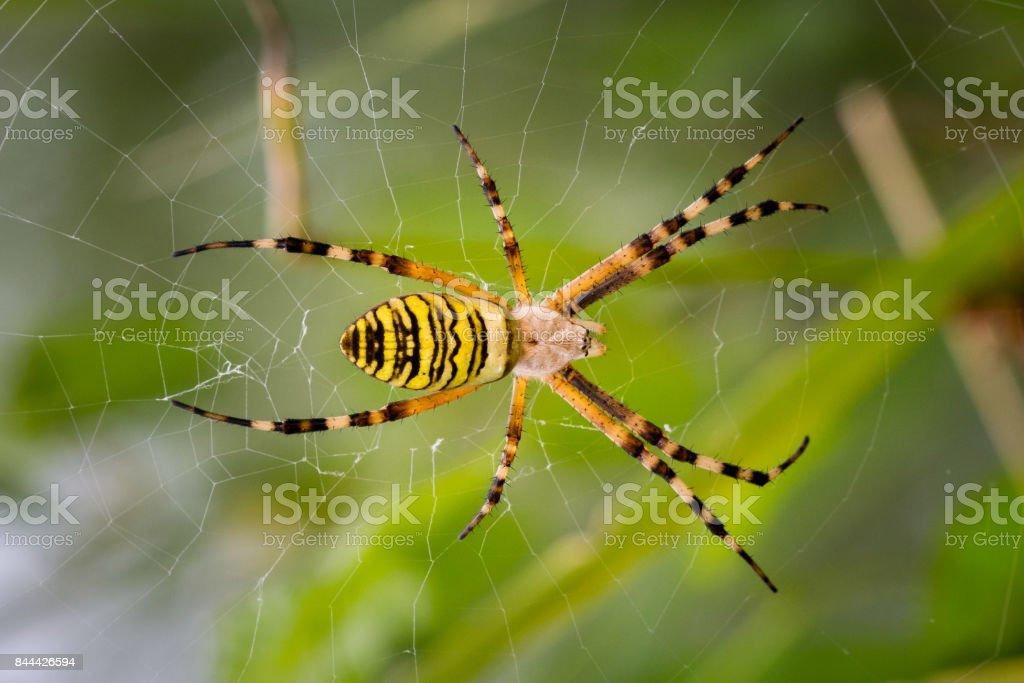Aranha de jardim amarela sobre um web - foto de acervo