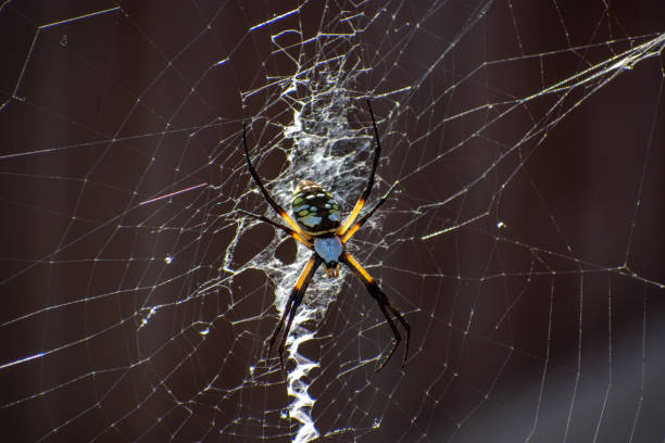 Yellow Garden Spider on web side view stock photo