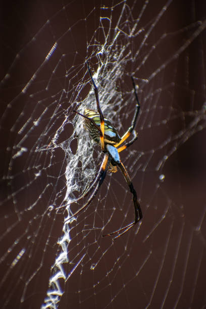 Yellow Garden Spider side view stock photo