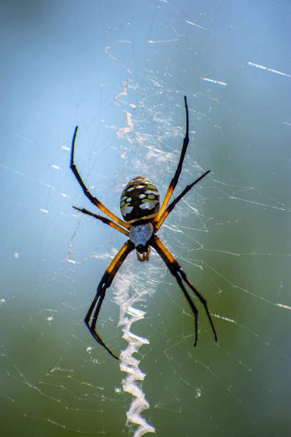 Yellow Garden Spider with lead web female stock photo