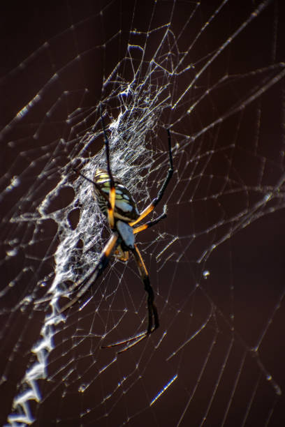 Yellow garden spider with shadow stock photo