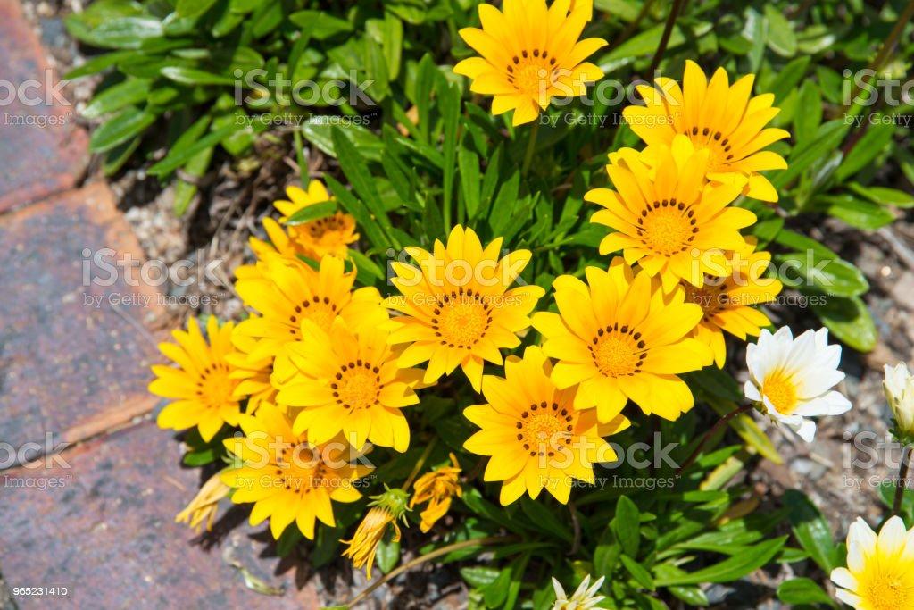 Yellow gazania flower zbiór zdjęć royalty-free