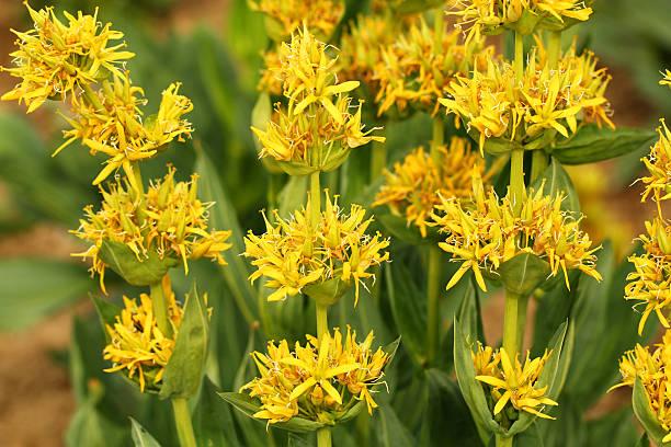 yellow gentian (gentiana lutea) - gentiaan stockfoto's en -beelden