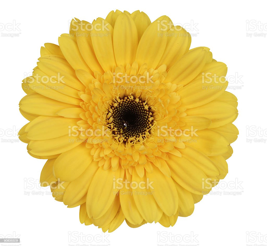 yellow gerber daisy on white royalty-free stock photo