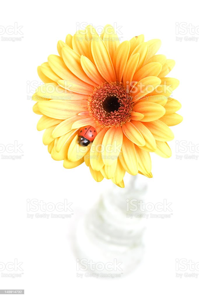 yellow gerber in vase and ladybird royalty-free stock photo