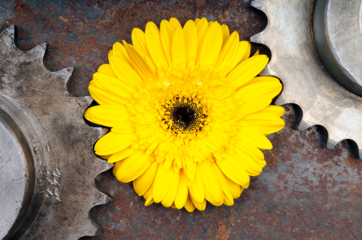 Gerbera Daisy on the rusty surface with gear...