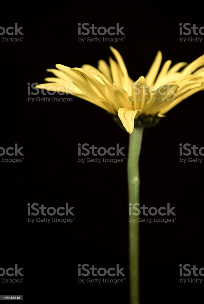 Yellow Gerbera Daisy Against Black Background royalty-free stock photo