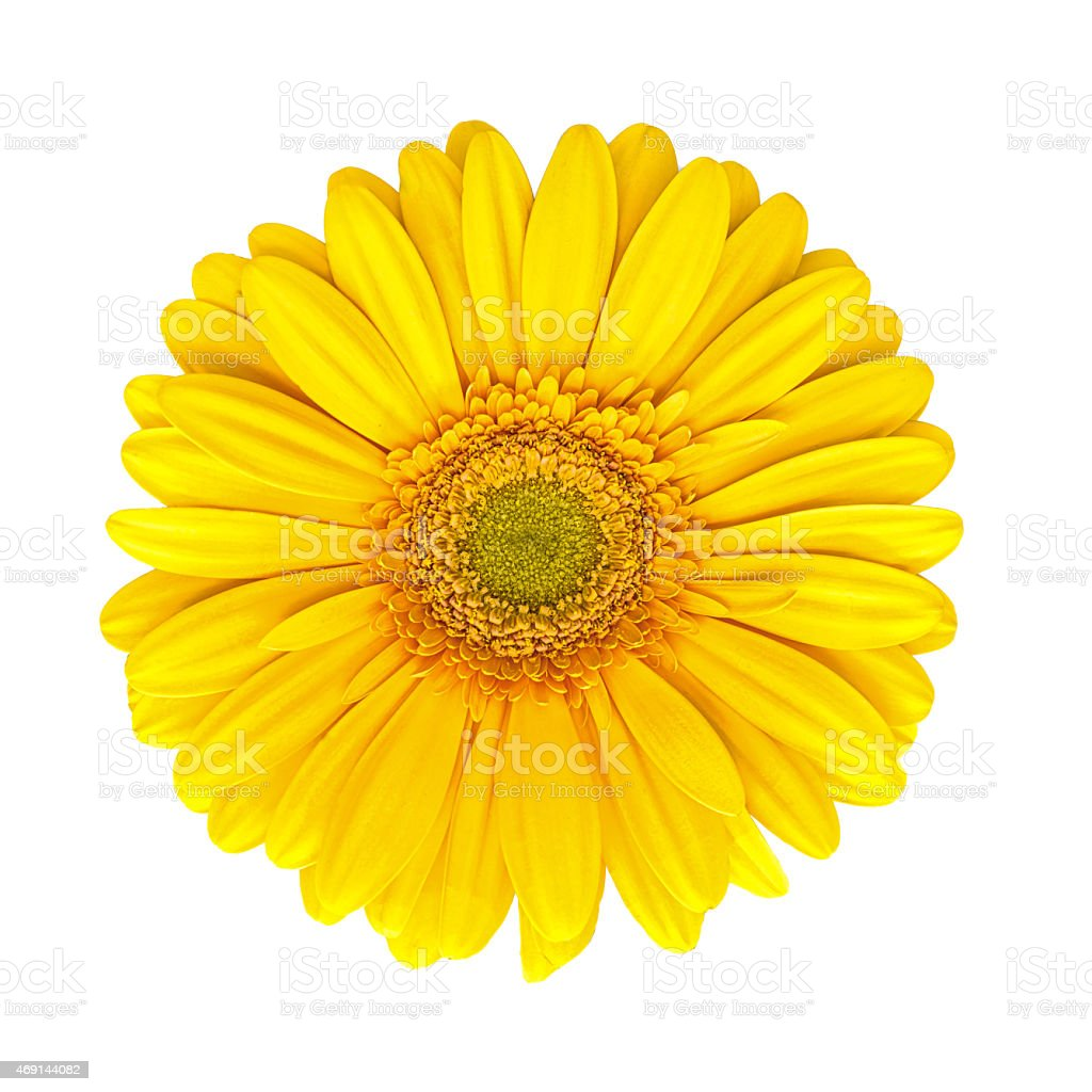 beautiful yellow gerbera flower head photograhy in springtime