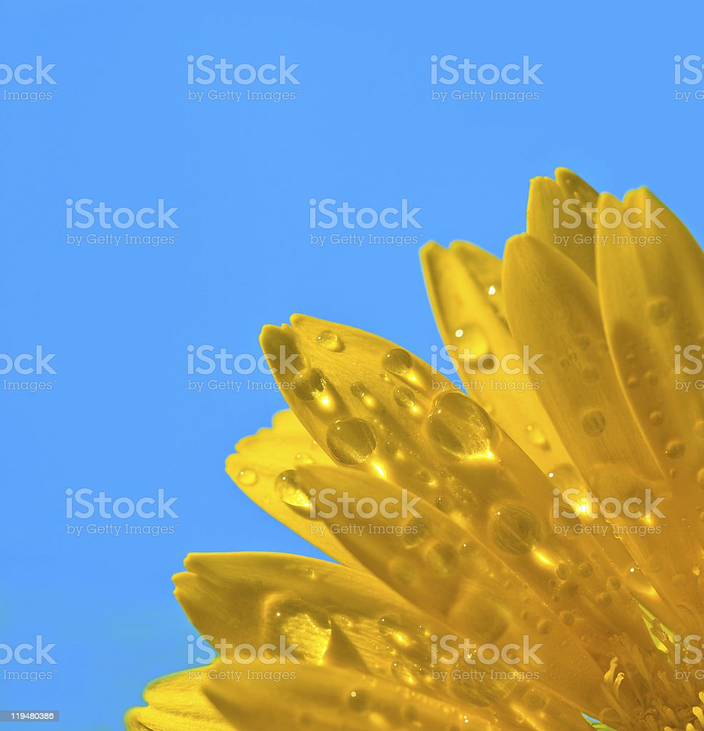Yellow Gerbera flower closeup with water drops on blue background royalty-free stock photo