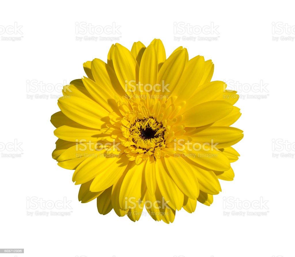 Amarillo flores gerbera - foto de stock
