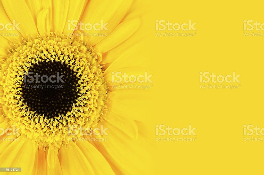 Yellow Gerbera Flower with Gradient royalty-free stock photo