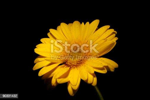 istock Yellow gerbera on black background 90331432