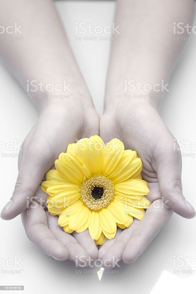 Yellow gerbera royalty-free stock photo