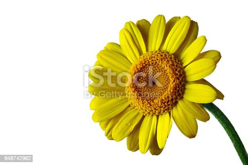 istock Yellow gerbera with white background, right, big 948742962