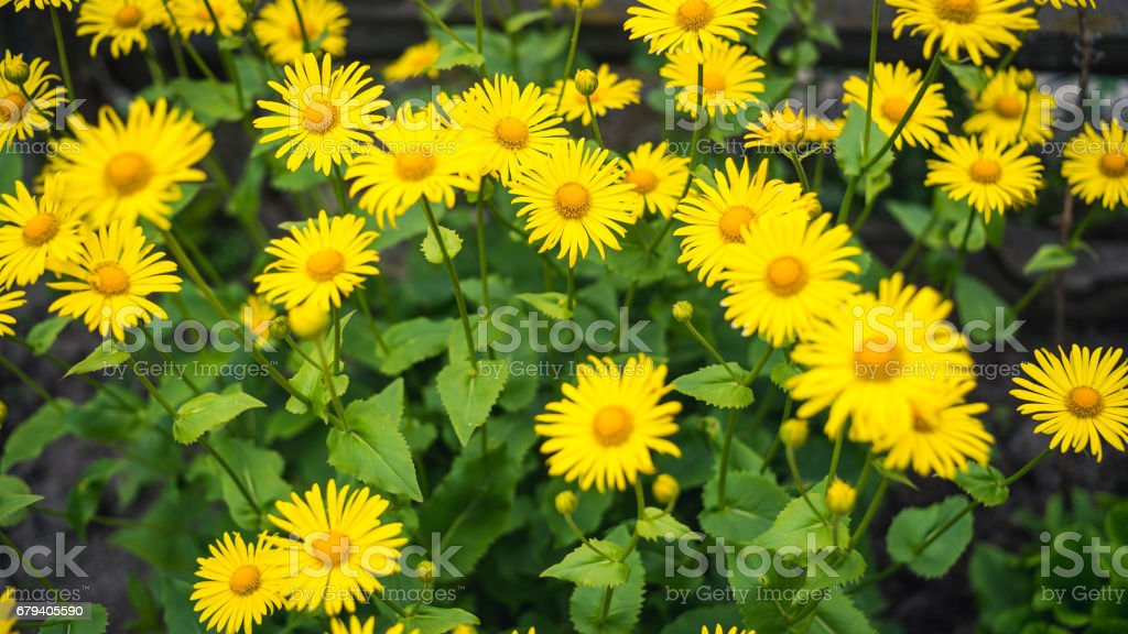yellow gerberas flowers with blur background royalty-free stock photo