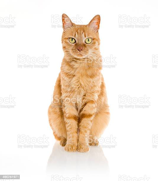 Yellow ginger cat pet isolated picture id490261971?b=1&k=6&m=490261971&s=612x612&h=zjfluwtmsen3 vaq 8nvpwl5wqzn9ttmmrslg6zm gq=