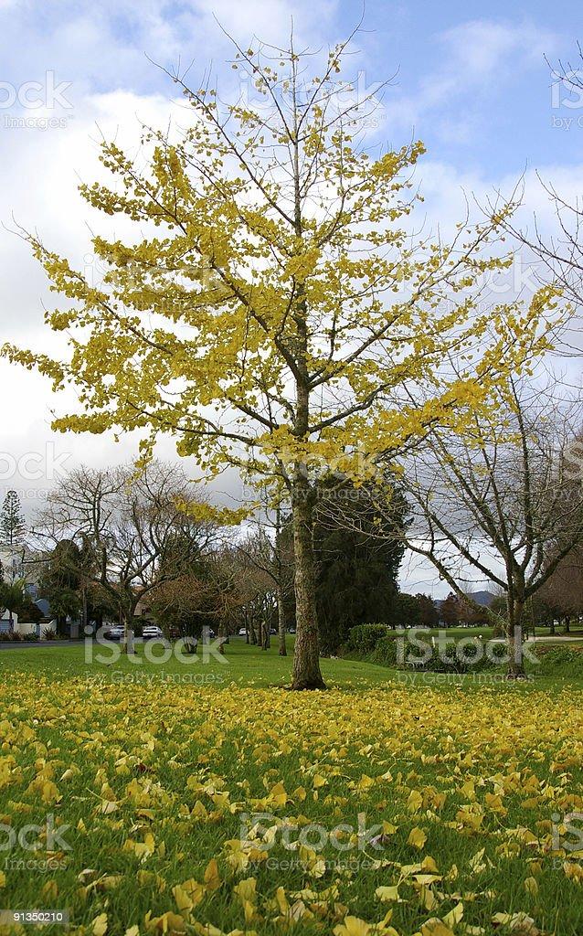 Yellow Gingko royalty-free stock photo
