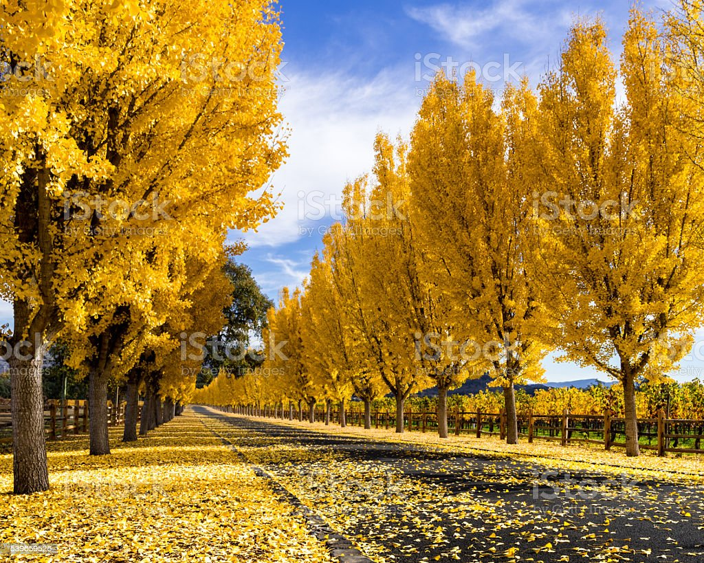Yellow gingko trees line road in Napa Valley, California in autumn stock photo