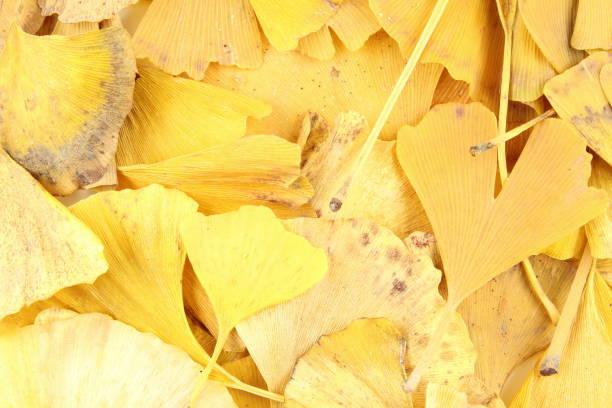 folhas amarelas do biloba do ginkgo na textura do fundo do outono - foto de acervo
